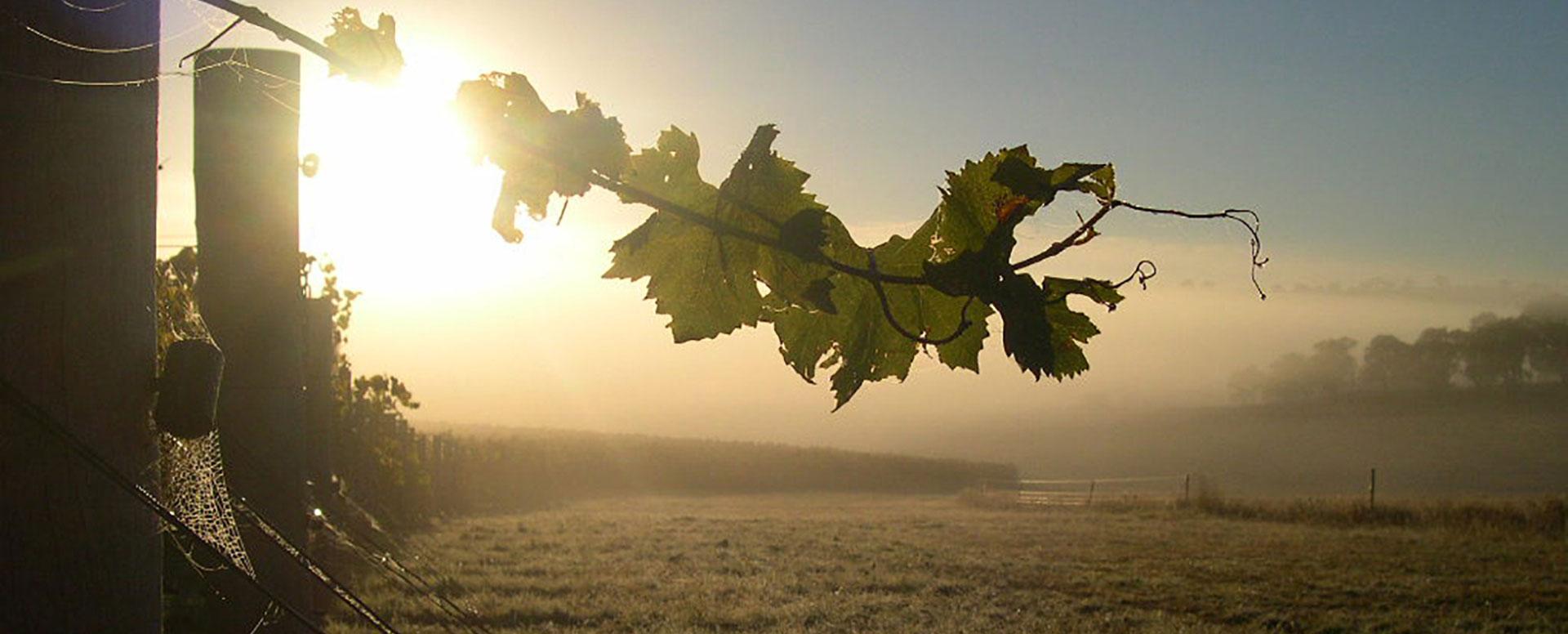 Patina vines sun rise